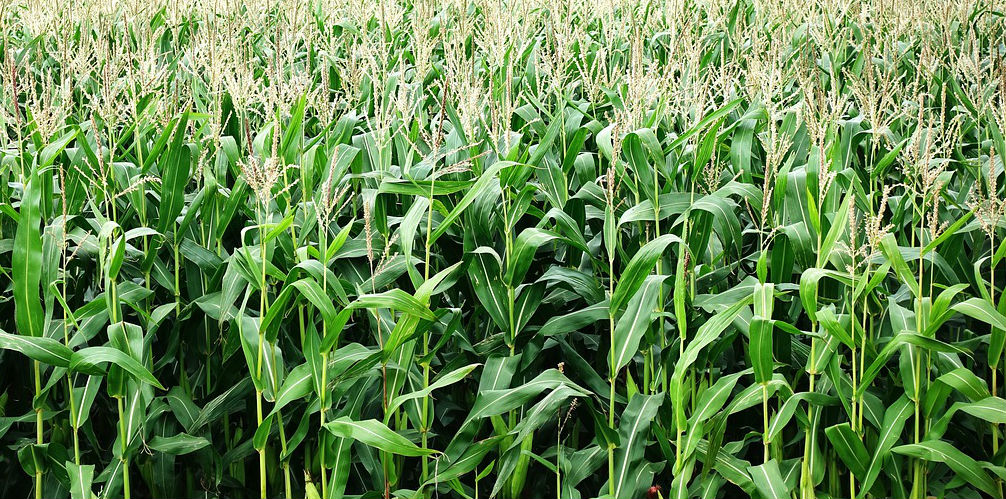 Final Approval Given for $1.51 Billion Syngenta Corn Class Action Settlement
